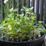 【初心者は必見】メダカビオトープにおすすめの水草5選!【睡蓮鉢】