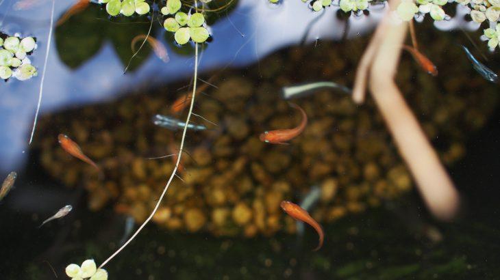 【2019年版】簡単なメダカの飼育方法!容器、餌、水替え、稚魚の育て方など【まとめ】