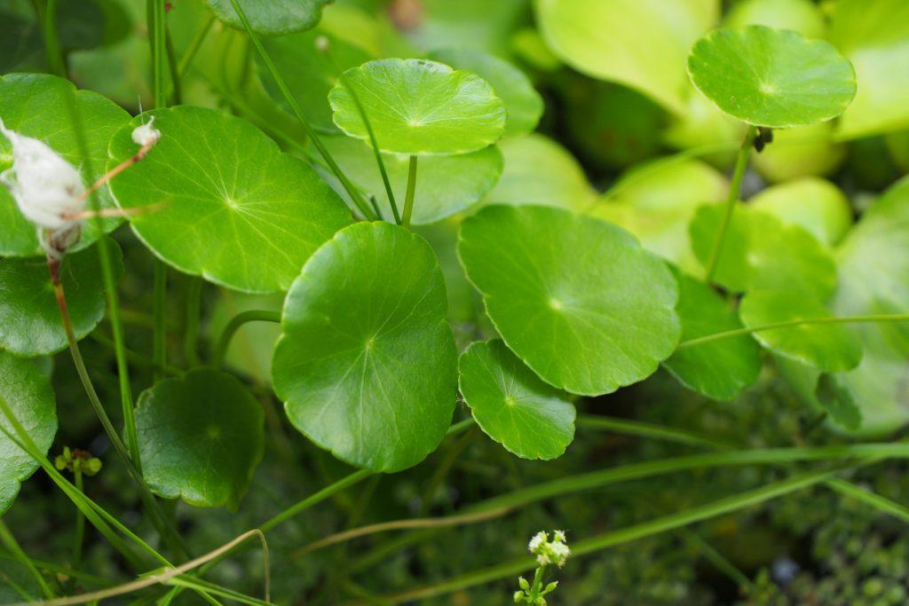 ウォーターマッシュルーム 生長が早く日光に当てるとぐんぐん伸びます。他の植物とのバランスに注意