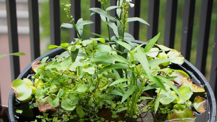 【メダカビオトープ】水草じゃなくてもOK!ビオトープに使える植物紹介第二弾!