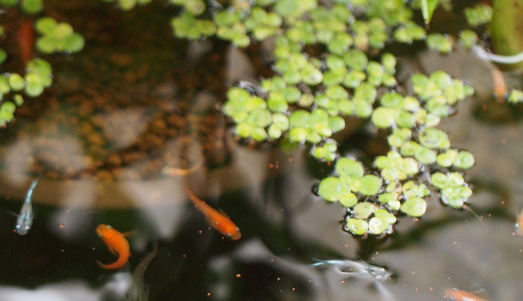 写真の浮草は標準和名『ウキクサ』と思われます