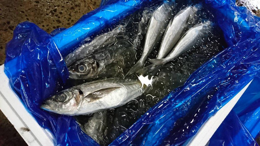 大衆魚の代表格マアジ