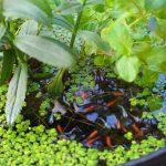 メダカビオトープにハダニが発生!殺虫剤を使わず駆除してみた結果