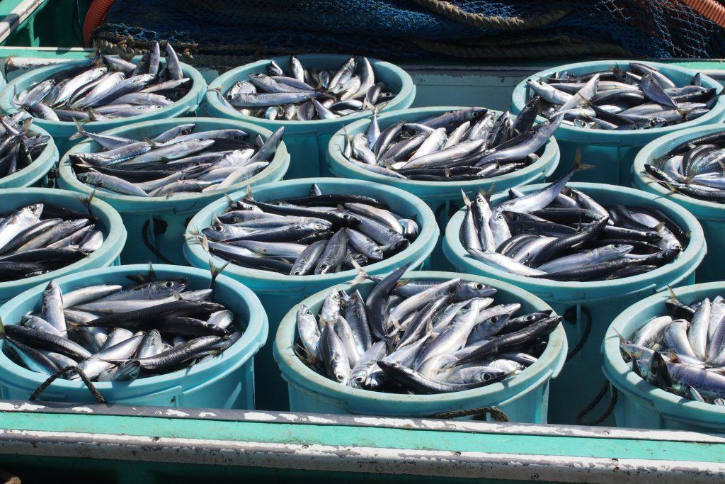 サバは日本各地で一年中漁獲される