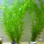 【2019年版】メダカの水槽飼育にオススメの水草を紹介!室内で初心者にも簡単に育てられる種類は?