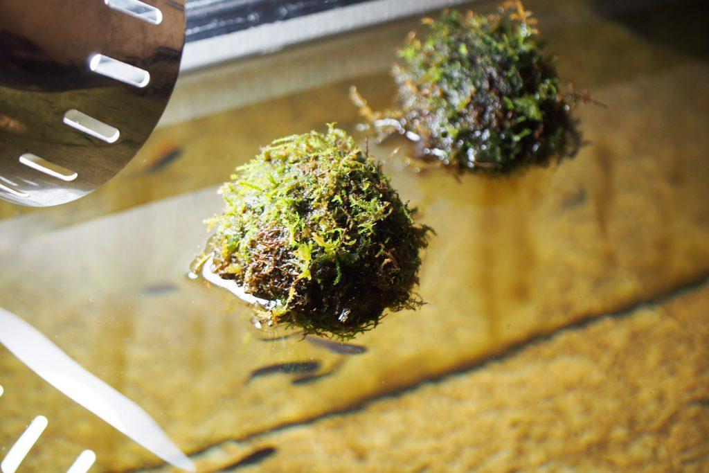 メダカにぴったりの浮かぶ苔玉『苔ボール』