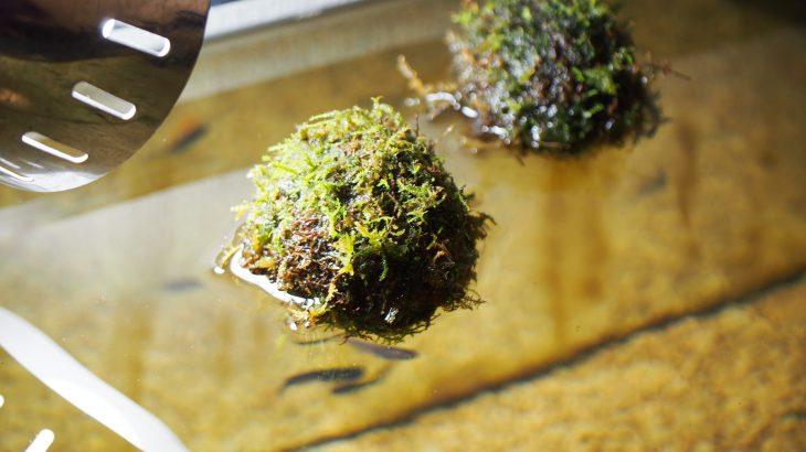メダカの産卵床に苔玉?『浮かぶ苔ボール』がメダカ水槽にぴったりで効果抜群だった