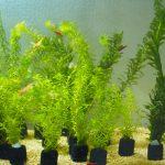 メダカの水草にはアナカリス(オオカナダモ)がおすすめな3つの理由!成長が早くて低光量でも育つ優等生
