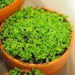 Amazonで売ってる怪しい『水草の種』でメダカと相性の良い前景水草ポットを作ってみたよ