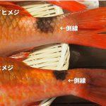 【動画あり】「おじさん」っていう魚知ってる?実は美味しい高級魚をお刺身で食べると…
