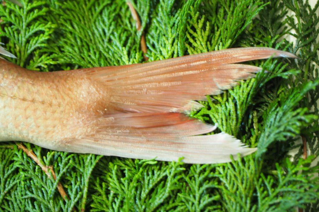 天然真鯛の尾びれはきれいな形