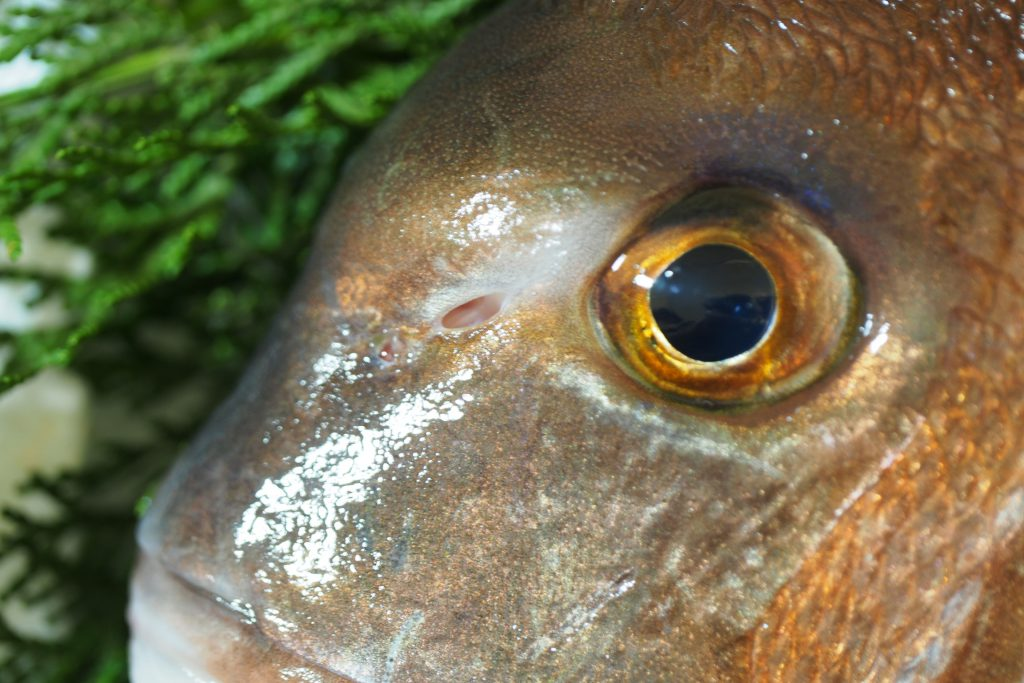 養殖真鯛の鼻は穴がつながっている