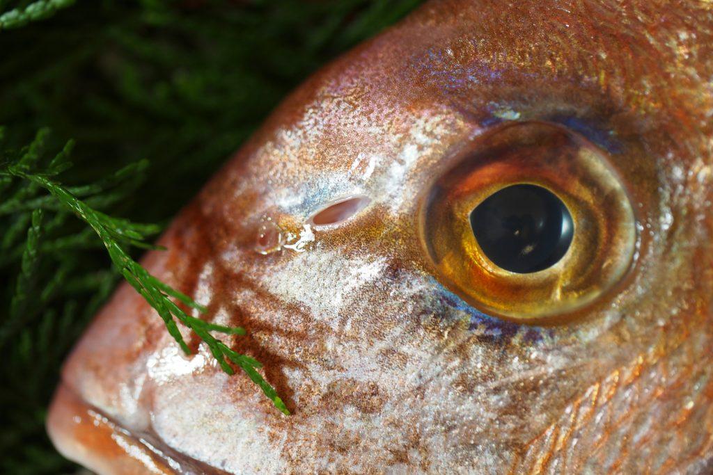 天然真鯛の鼻