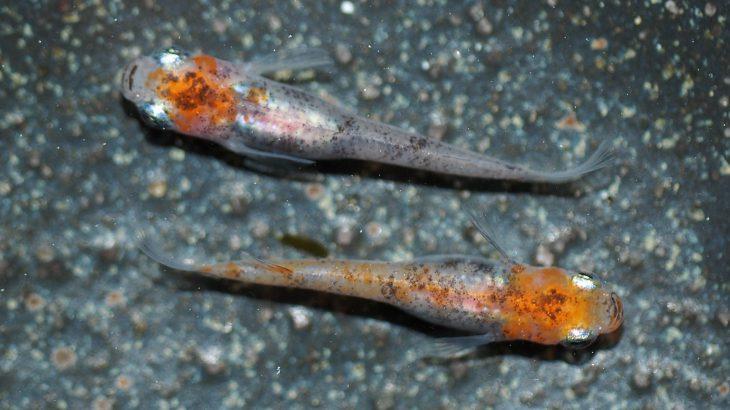 三色透明鱗メダカ(三色錦メダカ)の魅力。錦鯉のような、まさに改良メダカの最高峰