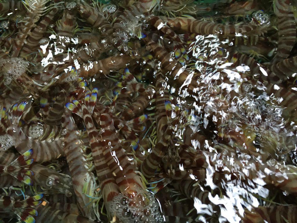 クルマエビは海底に住むタイプ