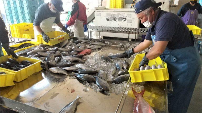 市場に水揚げされた魚の選別する様子